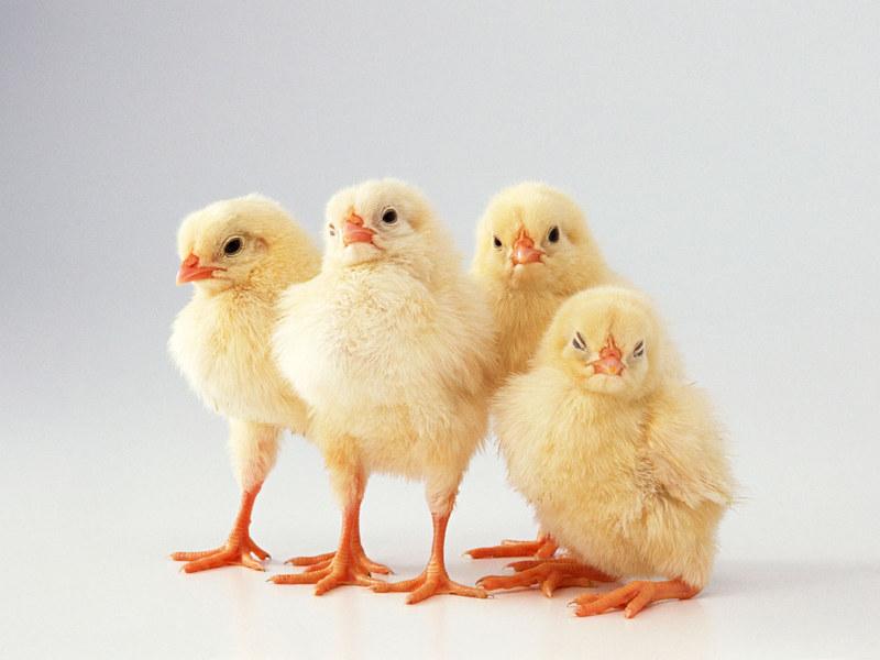 Cute chicken - photo#20