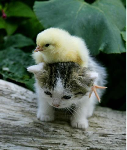 Un gatito y un pollito