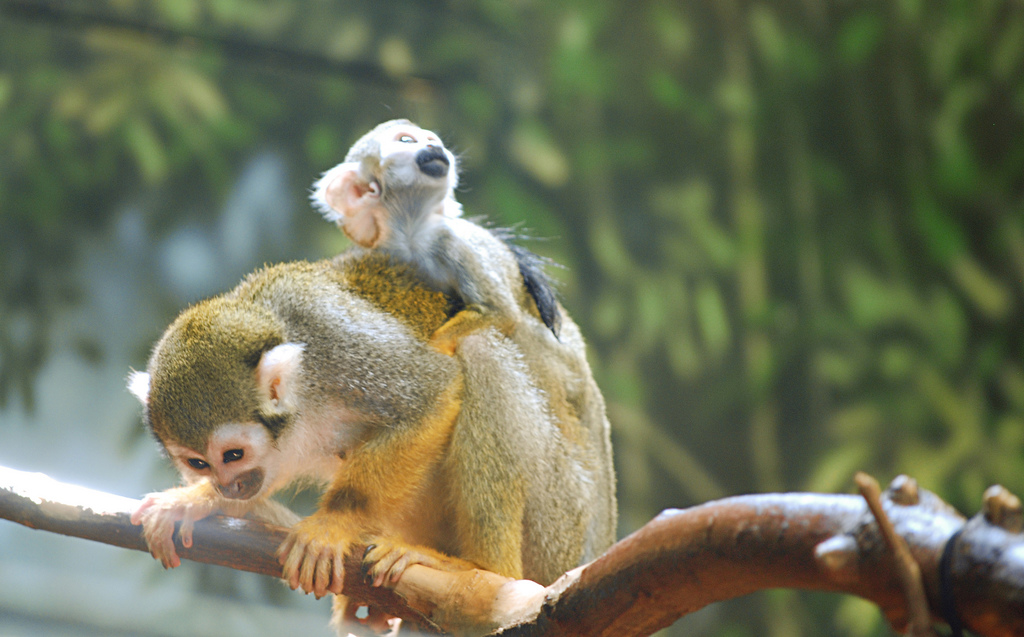 baby squirrel monkey on mama s back