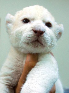 Baby Animals White Lion