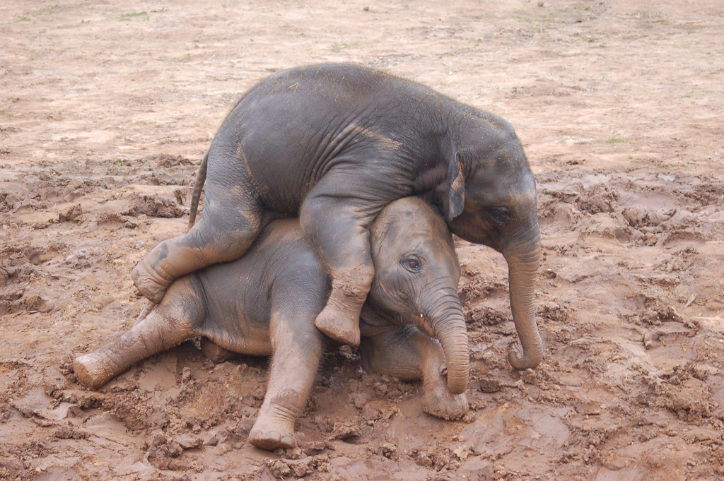 Two baby elephants having fun in the mud