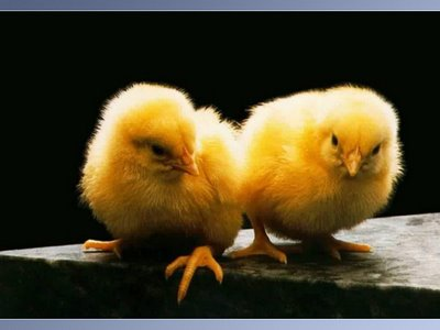 baby chicks pictures. And Some Cute Chicks for good