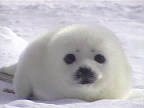 Cute Baby Harp Seal Baby Seals So cute whe...