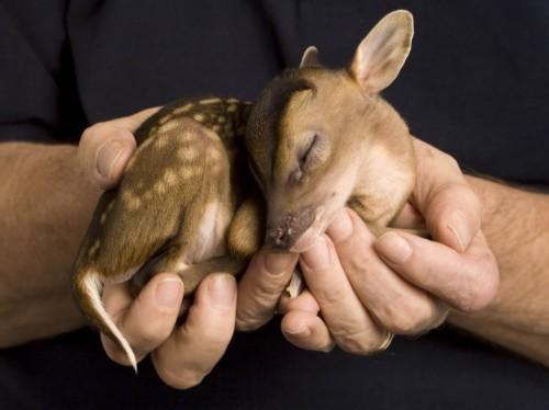 rupert-baby-deer2-500x374.jpg