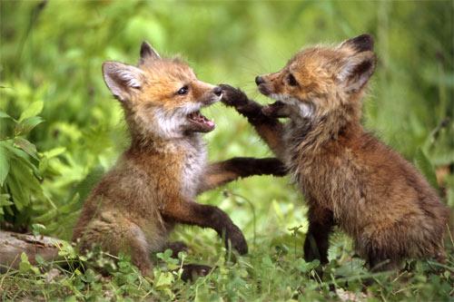 Baby-Fox-4x6.jpg
