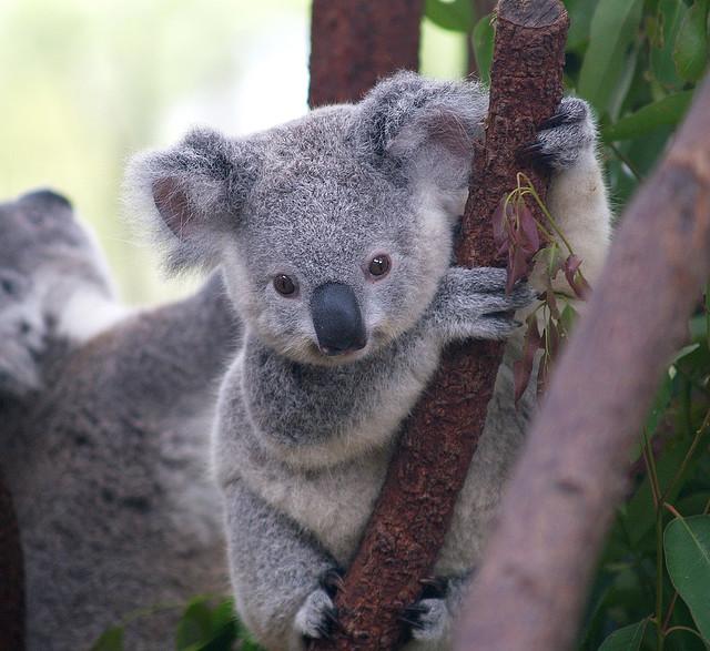 http://babyanimalz.com/blog/wp-content/uploads/2011/11/Baby-Koala-Bear.jpg