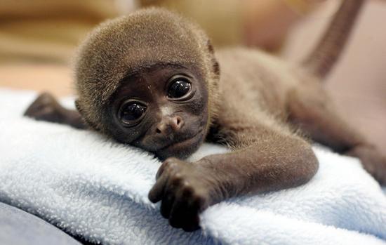 Baby-monkey-resting-4 ...