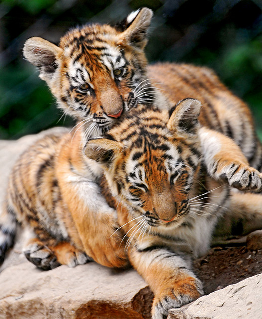 Playful Tiger Cub Photos | Baby Animalz