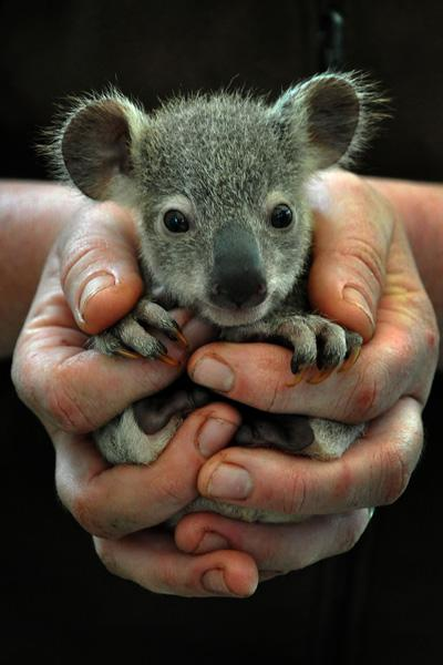 Baby Koala being held by a zookeeper | Baby Animalz