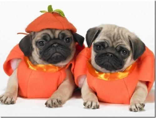 Pumpkin Pugs