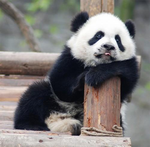 osećaj u slici,tonu,stihu... - Page 6 Baby-Panda-500x491