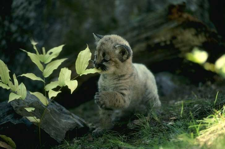 [Resim: Cougar-159037.jpg]