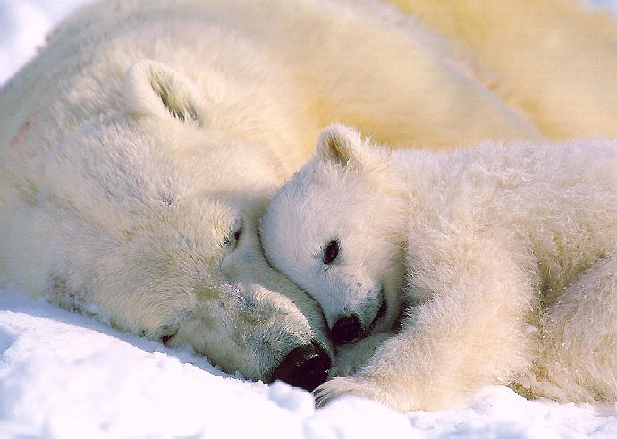 [Resim: PolarBears_02a-Mom_N_Baby-Sleeping.jpg]