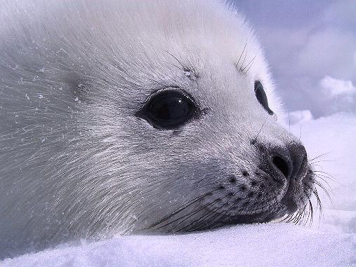 [Resim: baby_seal.jpg]