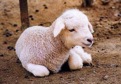 [Resim: baby_sheep01.jpg]