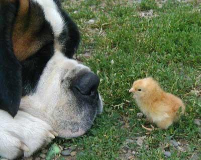 [Resim: dogchicken.jpg]