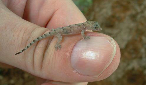 [Resim: g_africa--gecko-on-thumb.jpg]