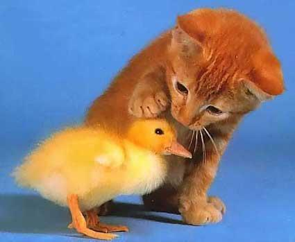 kitten and cute baby duck