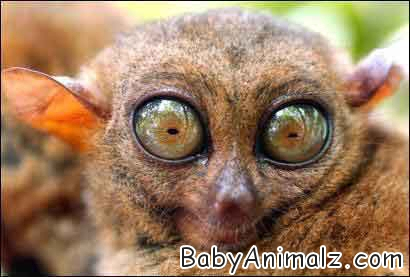 Baby tarsier Photo
