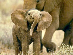 Baby Elephant Photo with Mother