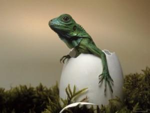 Baby Lizard Hatching