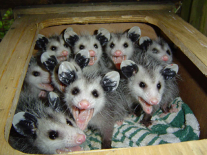 Baby Possum photo