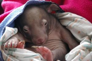 8week-wombat