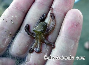 Baby Octopus Picture