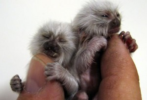 Pocket sized monkeys