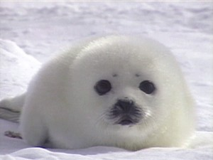 Baby Seal2