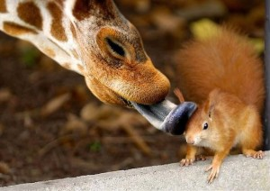 Giraffe Picture licking squirrel