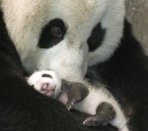 Panda-and-baby-cradle