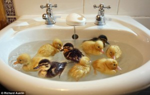 baby-ducks-in-sink