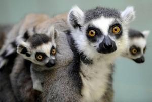 baby-lemur-cute