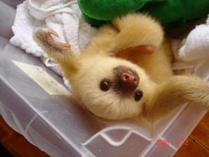 baby_sloth-in_box