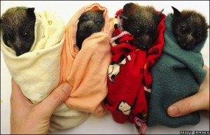 baby-flying-foxes