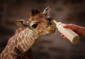 Baby Giraffe (Photo by Christopher Furlong/Getty Images)
