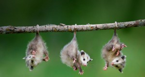 baby-opossum