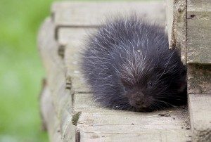 baby-porcupine