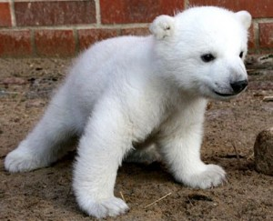 Baby Polar Bear Picture
