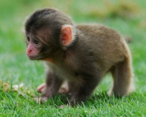 New Born Baby Snow Monkey @ the UK's Highland Wildlife Park