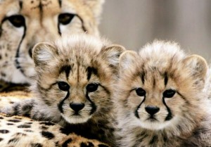 2 Baby Cheetah Cubs Awwww