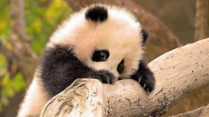 Baby Panda on a Branch