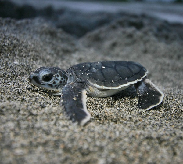 Cute Baby Sea Turtle Photos