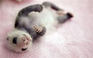 Super Cute Baby Panda