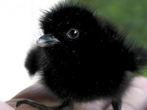 Baby Crow.  One pesky Bird, but cute as a baby.