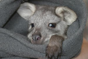 Baby Roo in a Fleece Blanket