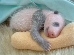 Newborn Baby Panda