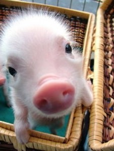 little-tea-cup-pig