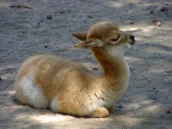 Baby Llama Photo